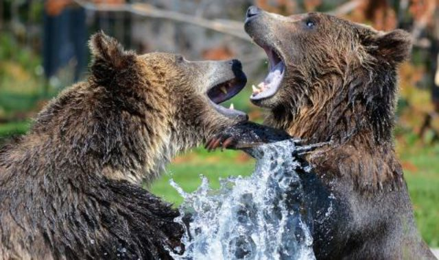 Bears Bear Sparring Grizzly Fun Grizzlies Playing