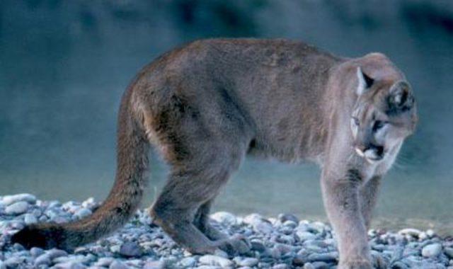 cougar-in-grand-teton-national-park-wyomingGallery