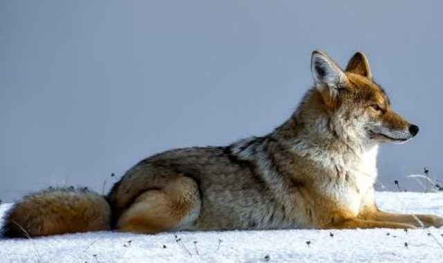 coyote-1730060_1280Gallery